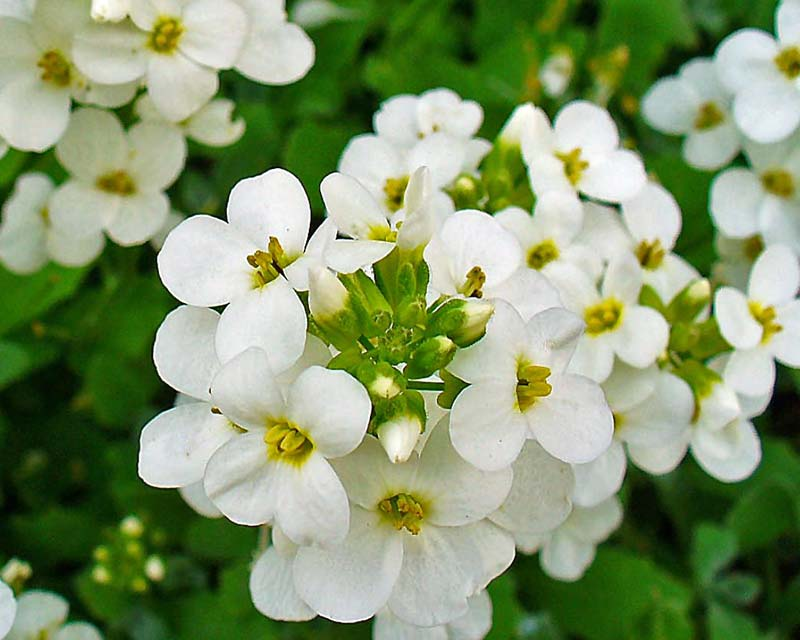 Gardensonline Arabis Caucasica Syn Arabis Albida