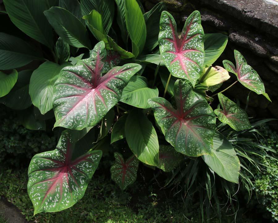 gardensonline  caladium bicolor