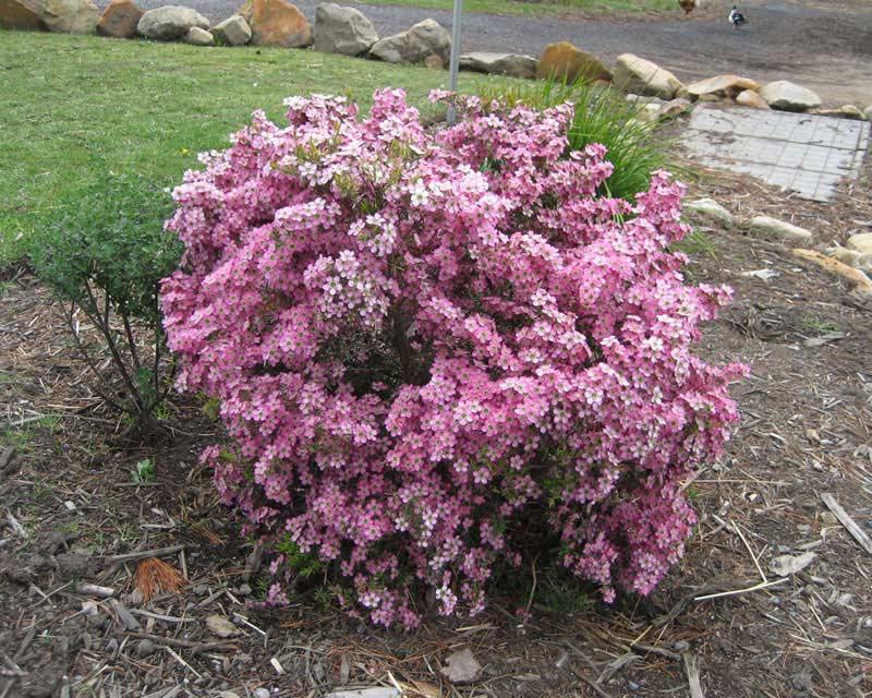 Gardensonline Leptospermum Scoparium