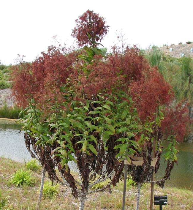 Calomeria amaranthoides  - photo Cranbourne Gardens Melbourne by Melburnian