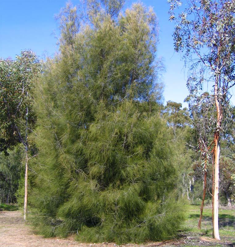 Gardensonline Casuarina Cunninghamiana