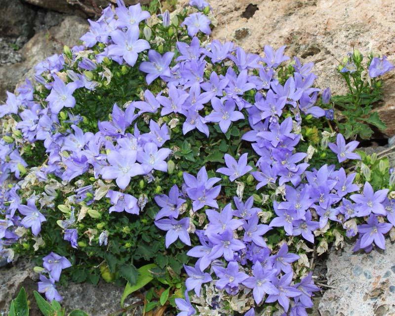 gardensonline campanula isophylla