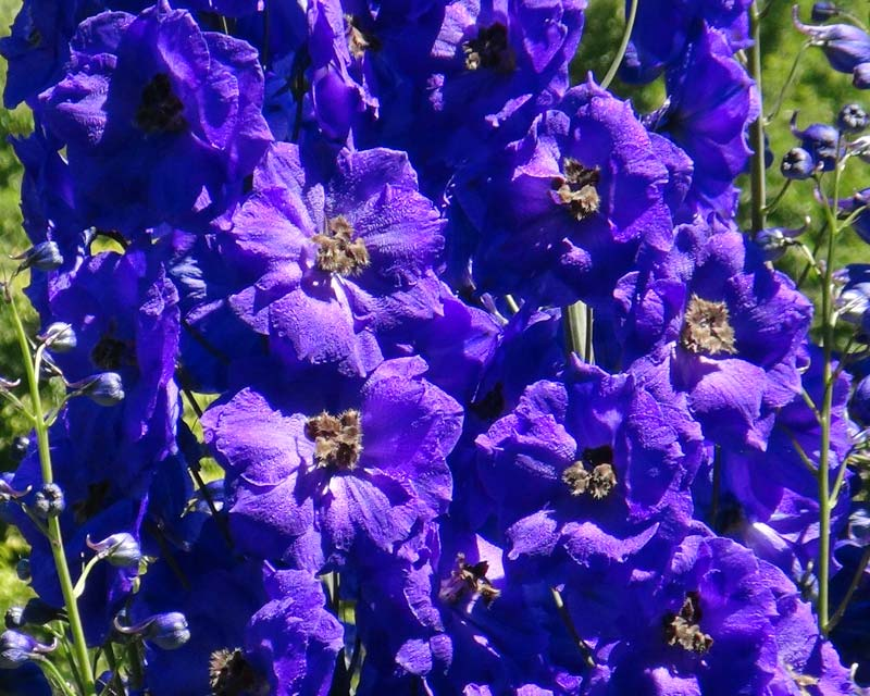 how to grow blue butterfly delphinium