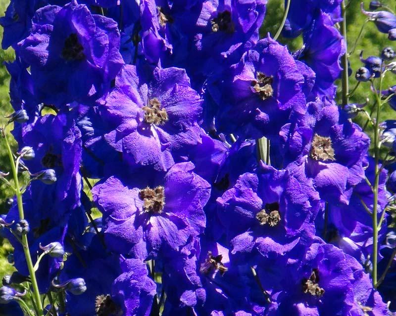 Delphinium Tall Elatum Hybrids growing over 2m - Bruce  Deep Blue / indigo  flowers