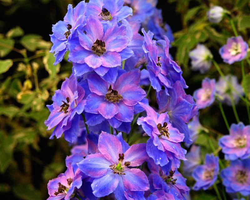 Delphinium Elatum Group Hybrids. Cassius - medium size growing to 1.6m  Blue and violet flowers