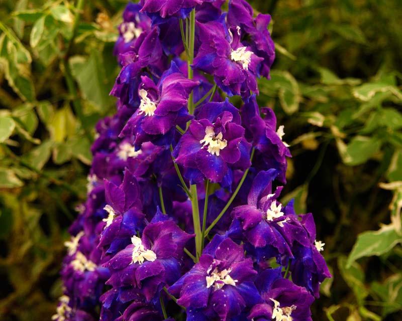 Delphinium Elatum Group Hybrid - Nobility purple and indigo flowers