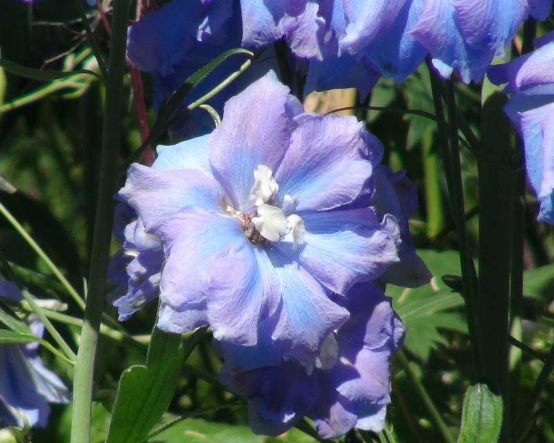 Delphinium Elatum Group Medium Hybrid grows to 1.7m - Spindrift pale blue flowers cream centres