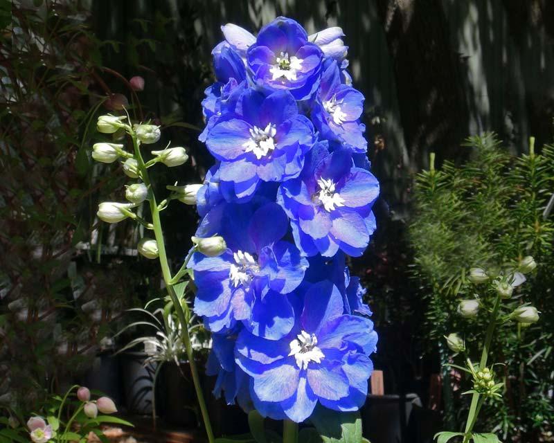 Gardensonline Delphinium Elatum Group