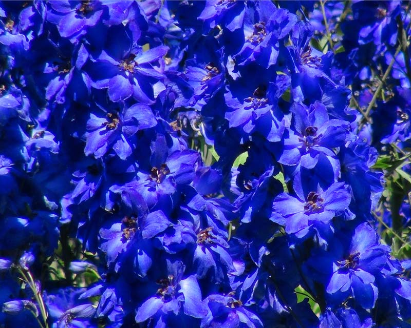 Delphinium Faust as seen at Sir Harold Hillier Gardens, Hampshire, UK