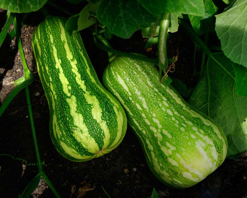 Cucurbita pepo - Marrow