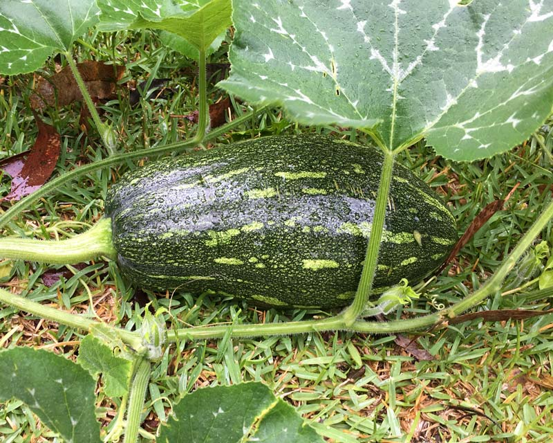 Cucurbita pepo, the Marrow