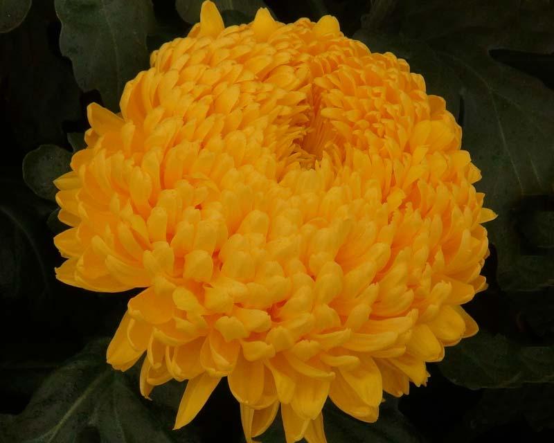 Gardensonline Chrysanthemum X Grandiflorum Syn