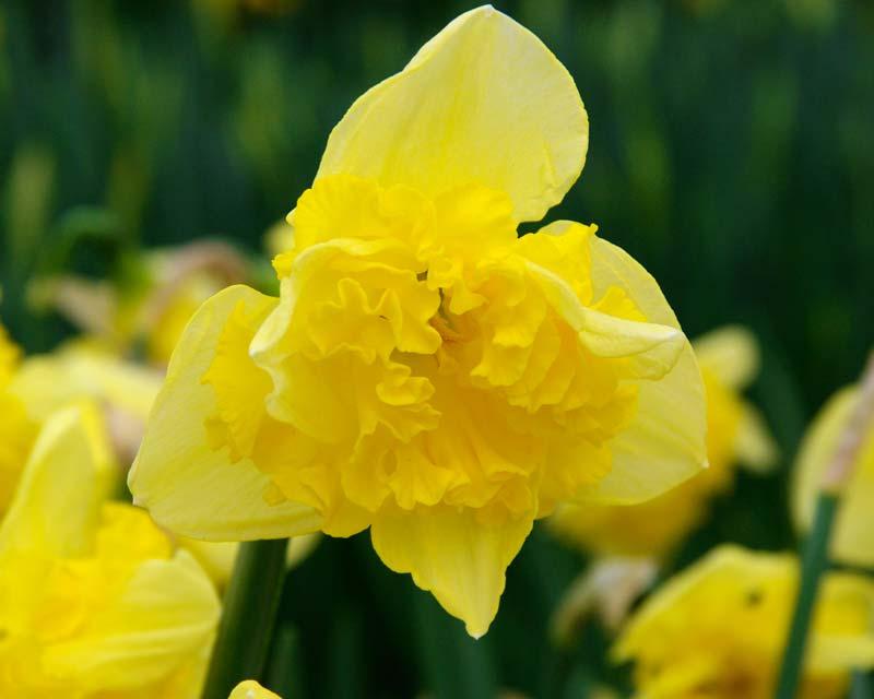 Narcissus hybrid Gele Printal