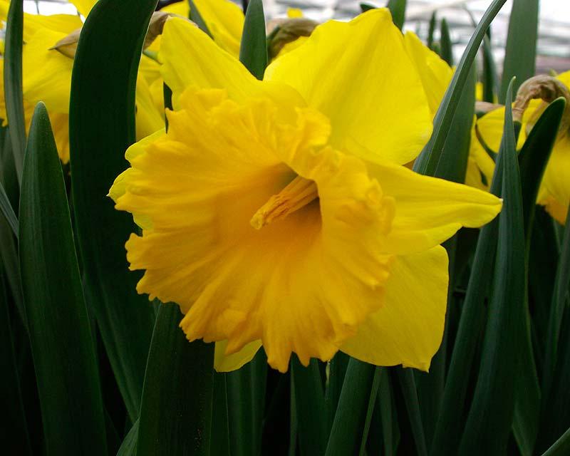 Narcissus Eclatant