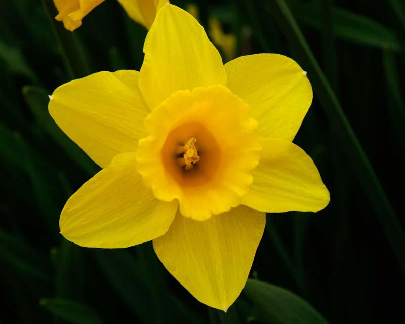Narcissus Golden Anniversary