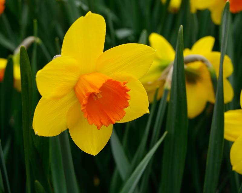 Narcissus Hot Gossip