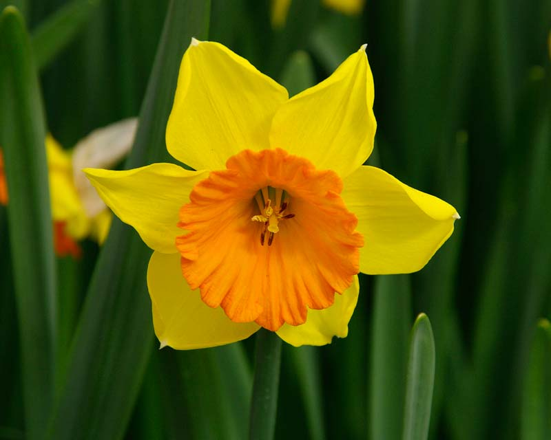 Simple, vibrant, uncompromisingly springtime - Narcissus Loveday.