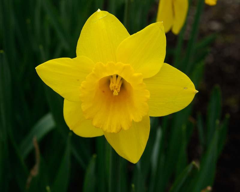 Narcissus Saint Keverne