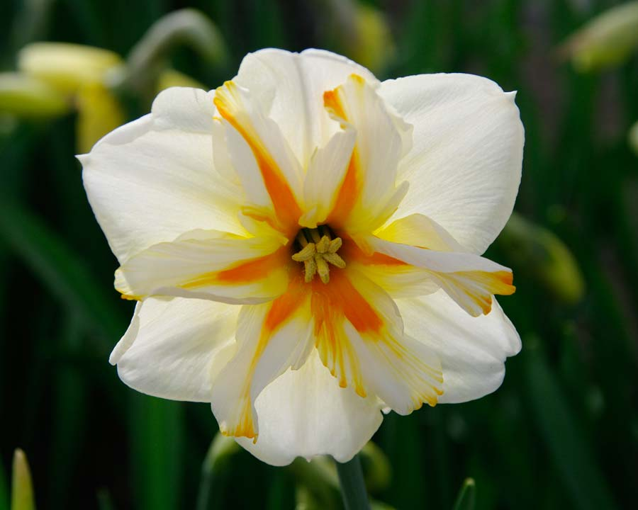 Narcissus Trepolo - as seen at Keukenhof, Holland.  If editors can have favourites, then this is mine.