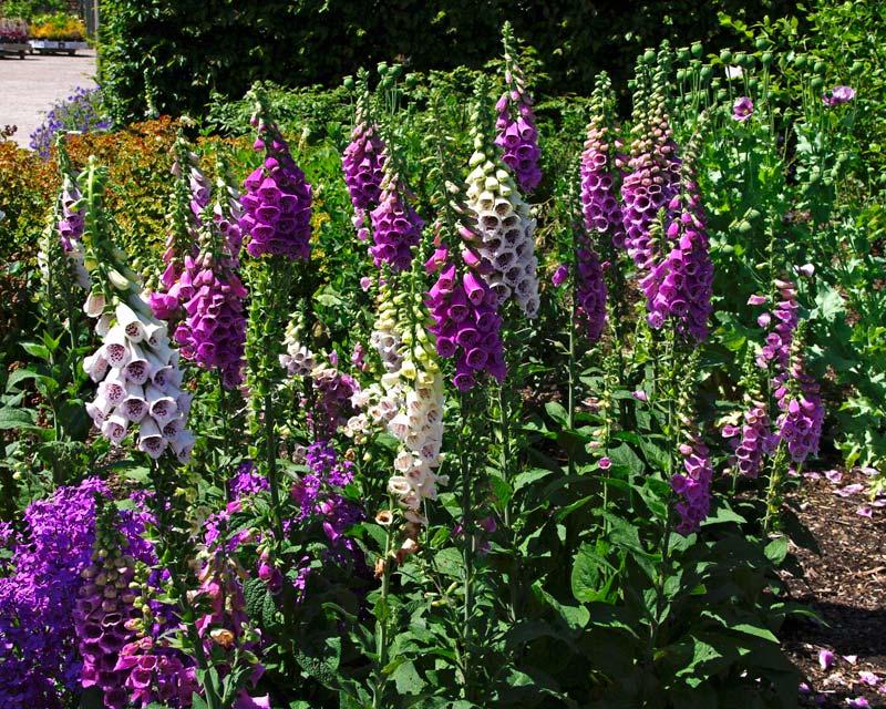Gardensonline Digitalis Purpurea