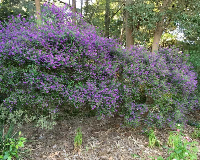 Gardensonline Prostanthera Ovalifolia