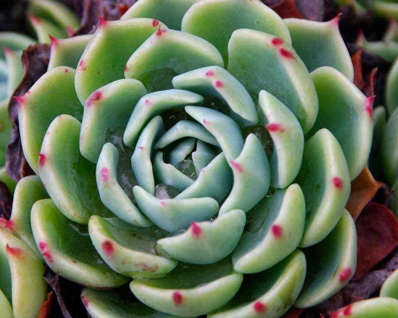 Gardensonline Echeveria Elegans