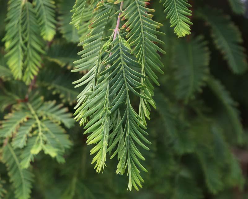 Metasequoia glyptostroboides foliage