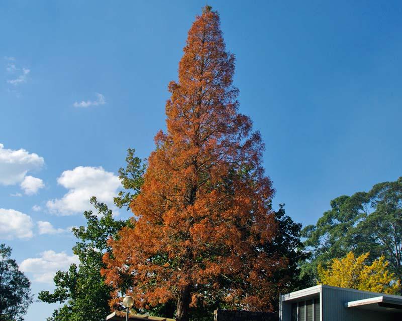 Gardensonline Metasequoia Glyptostroboides