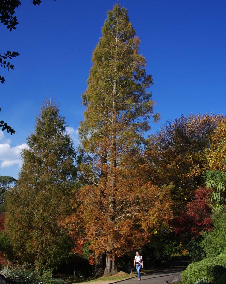 Metasequoia glyptostroboides in late autumn