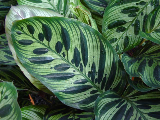 gardensonline  calathea makoyana