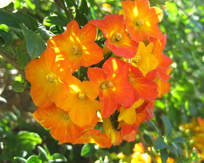 Drive Time Locations >> GardensOnline: Streptosolen jamesonii