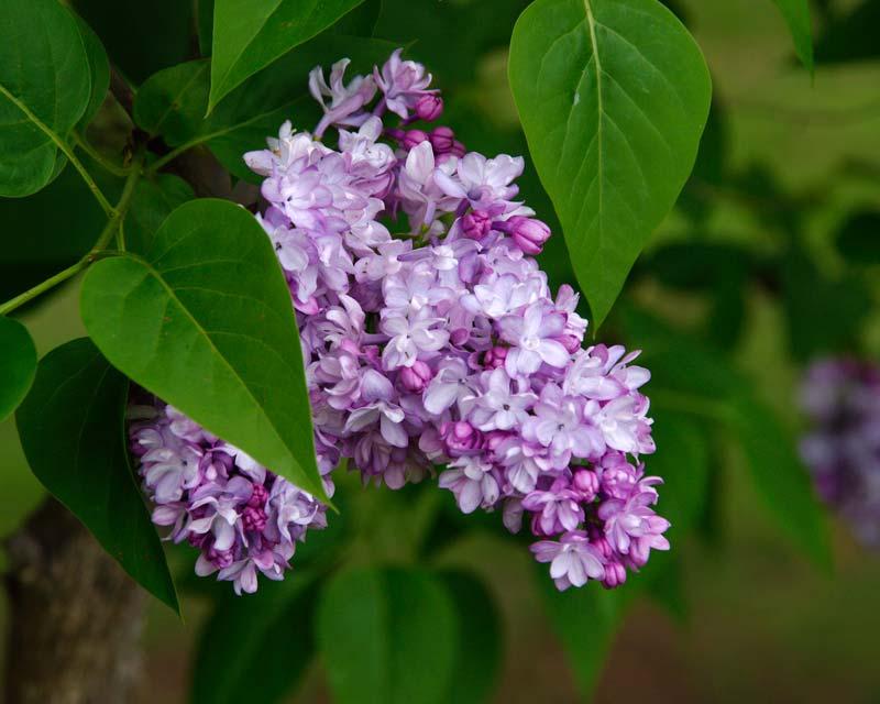 Gardensonline syringa vulgaris - Syringa vulgaris ...