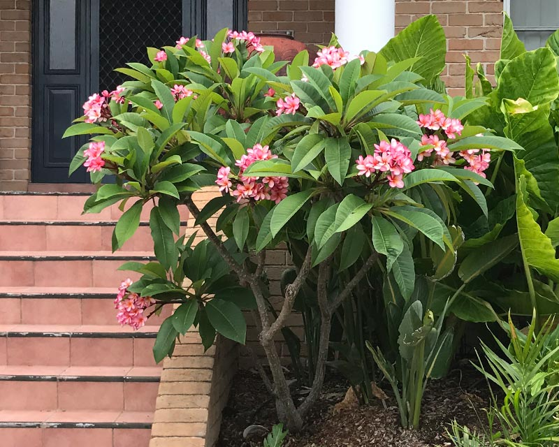 GardensOnline: Plumeria rubra