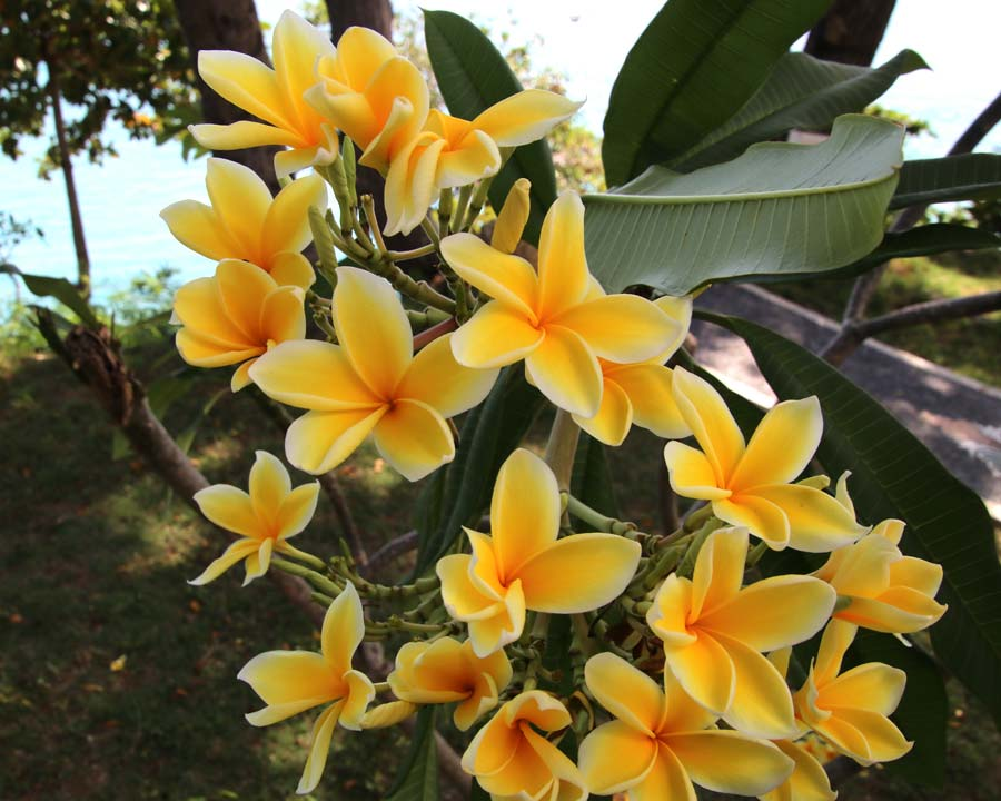 Plumeria rubra 'Paul Weissich'  named in honor of the director of Foster Botanic Garden.