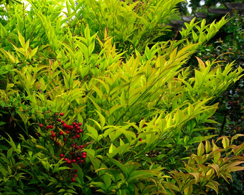 Foliage and red berries of Nandina domestica