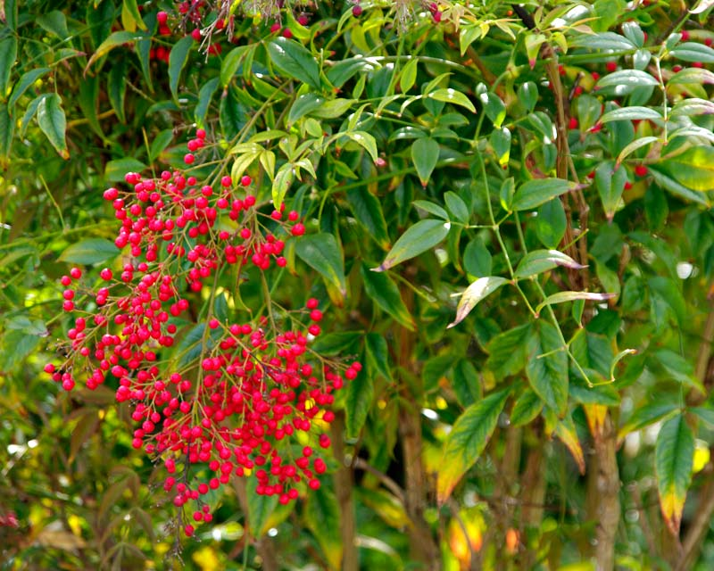 Nandina domestica Richmond  foliage and berries