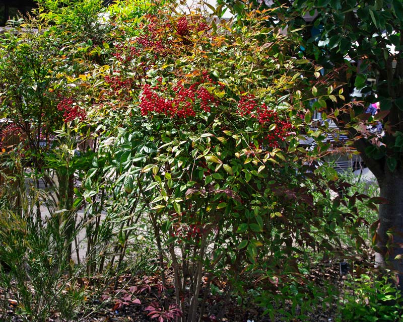Nandina domestica Richmond