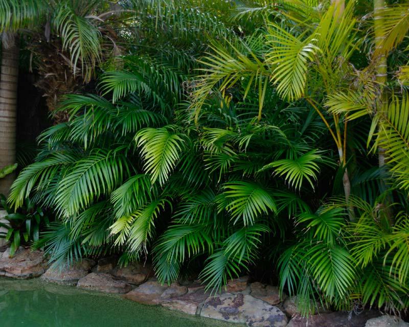 Gardensonline Chamaedorea Elegans