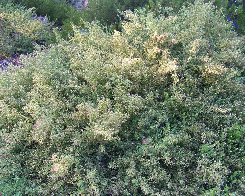 Gardensonline Baccharis Pilularis