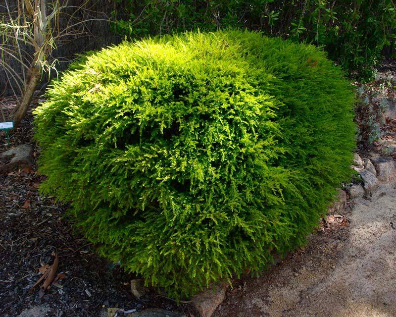 Gardensonline baeckea virgata syn sannantha virgata