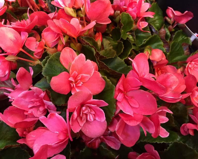 Gardensonline Begonia Winter Flowering Begonia