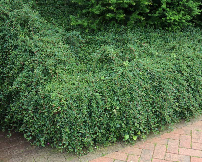 Gardensonline Cotoneaster Dammeri