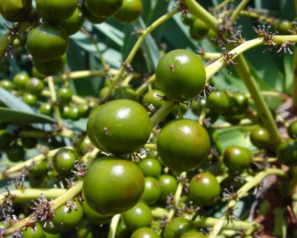 Dracena draco fruits