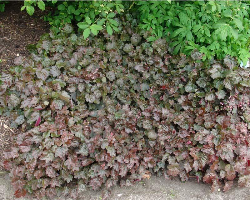 gardensonline heuchera micrantha var diversifolia palace. Black Bedroom Furniture Sets. Home Design Ideas