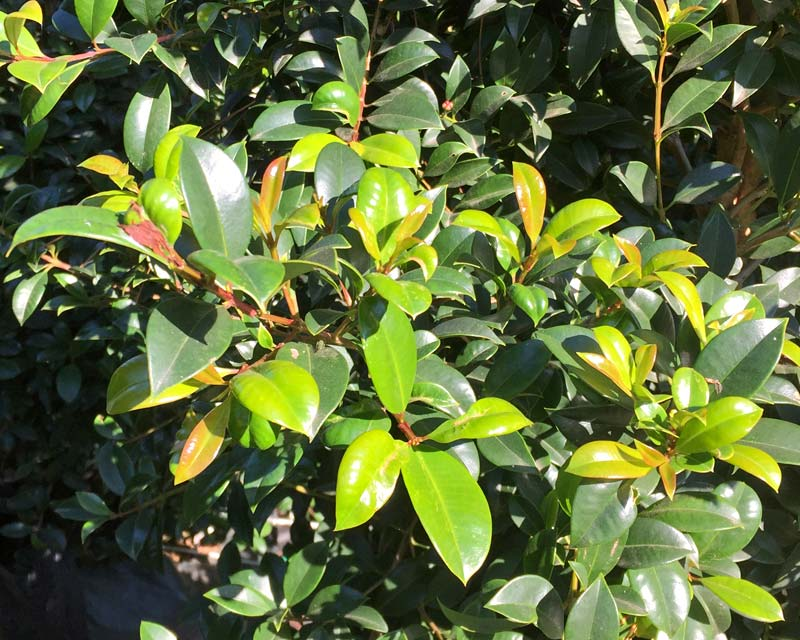 Syzygium australe 'Resilience' - less prone to psyllids