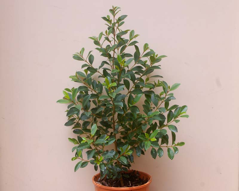 Syzygium australe - 12 months growth from seed