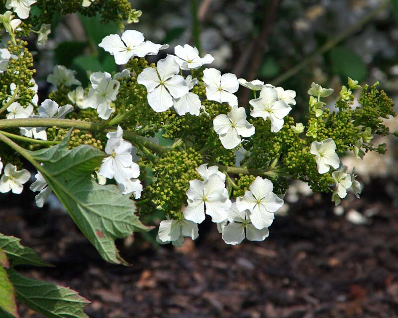 Panicle of buds and emerging white flowers - Hydrangea Quercifolia Ice Crystal