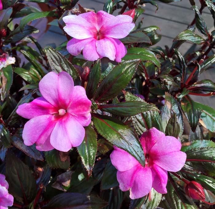 Gardensonline Impatiens New Guinea Hybrids