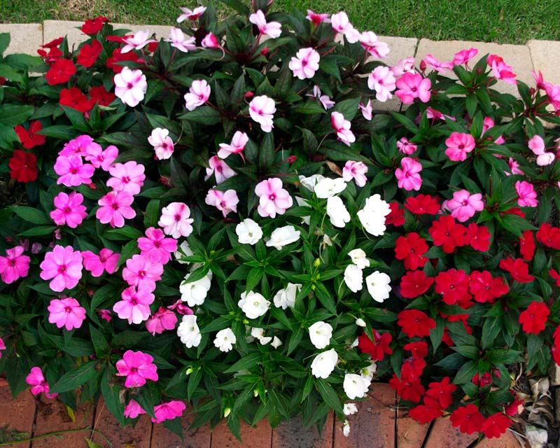 Gardensonline impatiens 39 new guinea hybrids 39 for New guinea impatiens