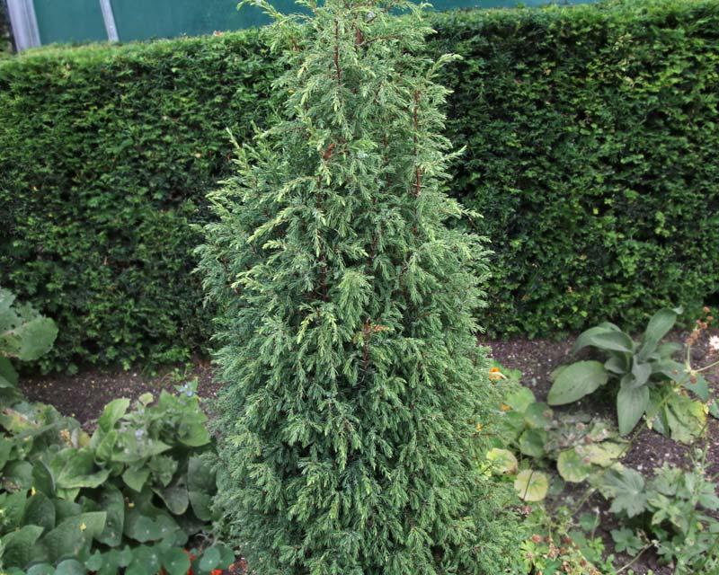 gardensonline juniperus communis hibernica. Black Bedroom Furniture Sets. Home Design Ideas